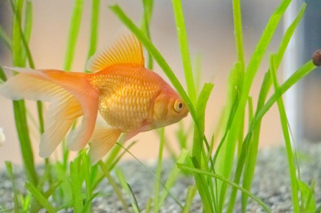 金魚の水槽掃除の方法や道具・頻度について