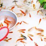 金魚の寿命と大きさ!ギネス記録や長生きのコツも紹介!