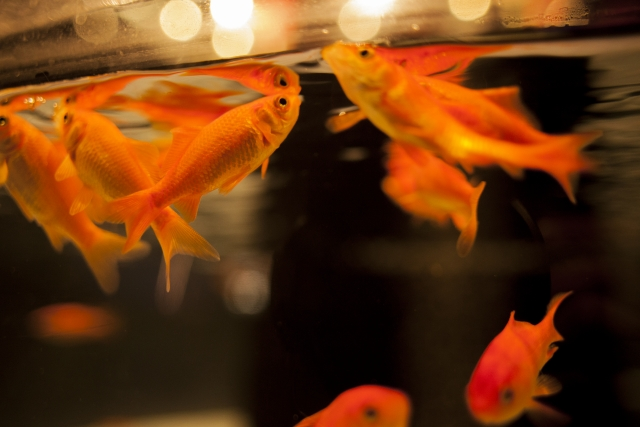 金魚の転覆病の症状・原因と治療法・予防法について