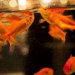 金魚の餌のおすすめと代用できる物、食べない時の対処法について