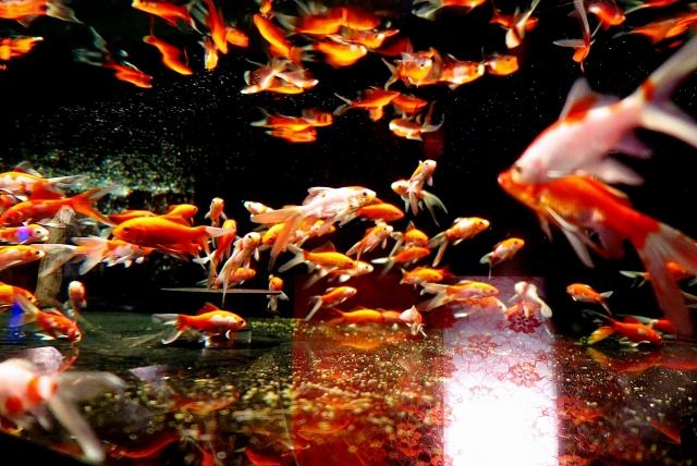金魚の産卵の時期・回数、準備する物や気を付ける事