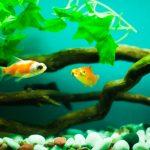 新しい金魚にはトリートメントが必要?正しい方法と注意点