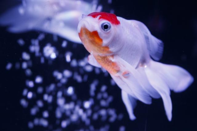 金魚の丹頂の特徴と飼育方法について