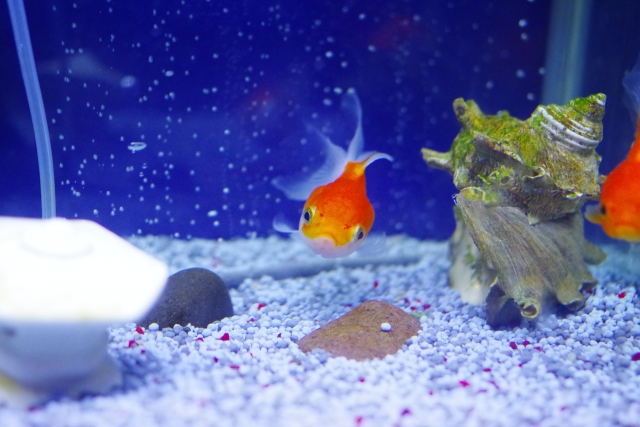 金魚に寄生虫が!原因・駆除方法・対策について