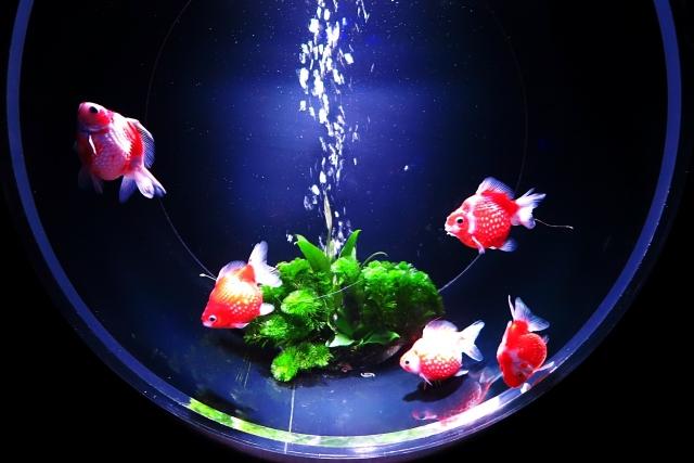 金魚の繁殖期や行動など産卵を成功させる方法について