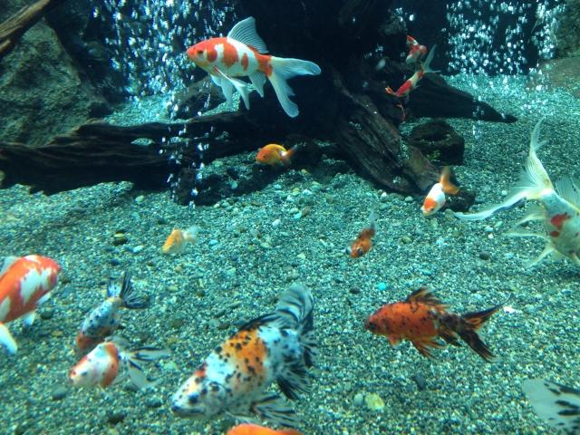 金魚のコメットを飼育するのに必要な知識