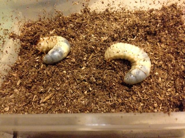 カブトムシの幼虫のマットのおすすめとガス抜き、交換方法
