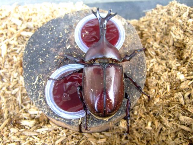 カブトムシの餌の作り方や頻度と食べない原因などについて