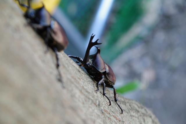 カブトムシの交尾で役に立つ8つの知識