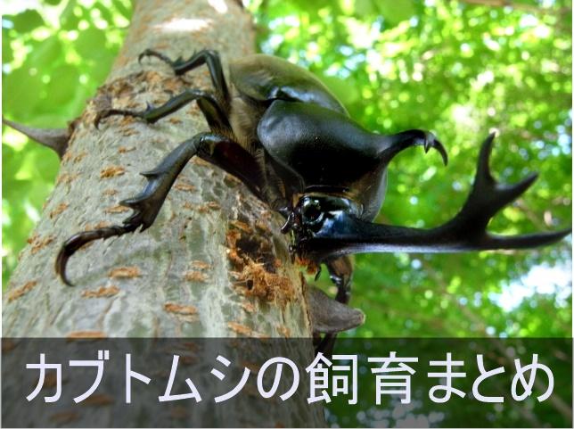 カブトムシの飼育に役立つ記事まとめ