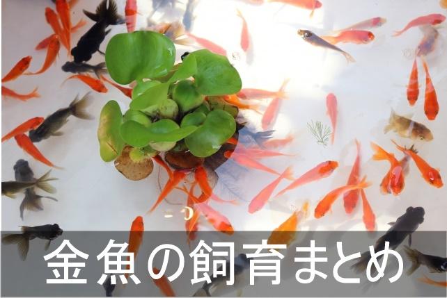 金魚の飼い方まとめ