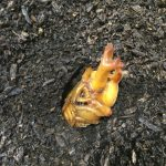 カブトムシの蛹について!土の上に出た時の人工蛹室の作り方