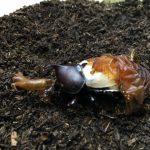 カブトムシの羽化時期と失敗した原因と予防法