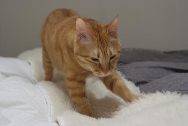 猫がふみふみする理由の前足と後ろ足の違い!しないのは何故?