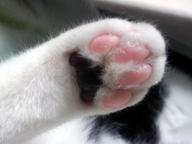 猫の肉球の役割と色の違い!熱い・冷たい理由と肉球の病気について