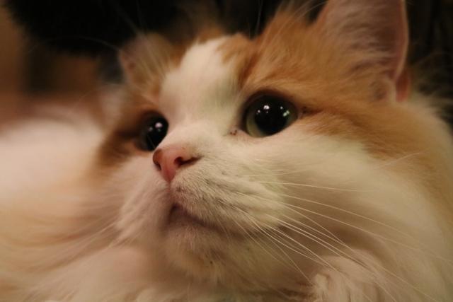 猫の涙やけと目やにの原因と治療法について