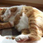 猫のダイエットを成功させる方法!秘訣は餌と運動にあり?