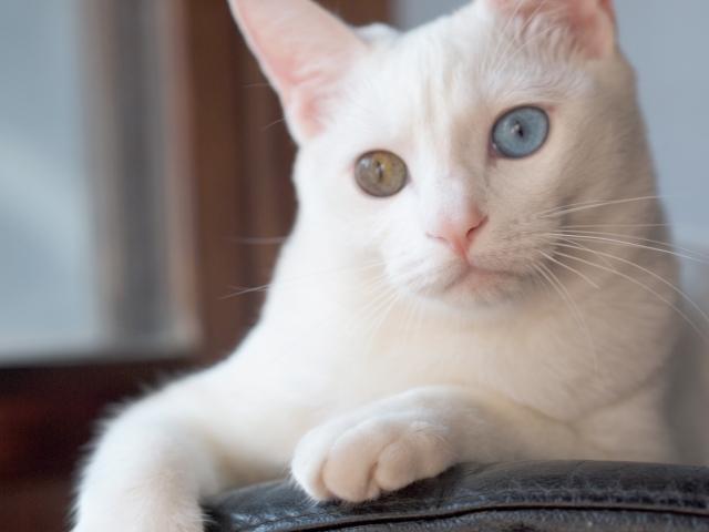 猫がオッドアイになる理由と確率、飼う時の注意点