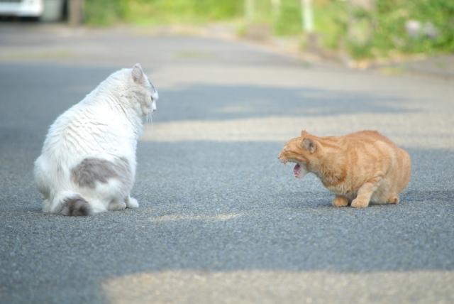 猫の喧嘩の理由とじゃれ合いとの違い!止めないと死ぬ事もある?