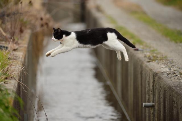 猫のジャンプ力の秘密!何故そんなに高く飛べるの?