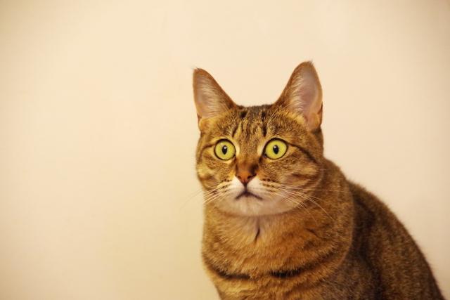 猫のキジトラの特徴・性格・寿命!飼う際の注意点は?