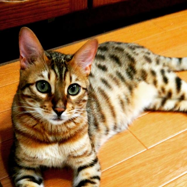 猫のベンガルの大きさ・性格や注意点!かかりやすい病気とは?