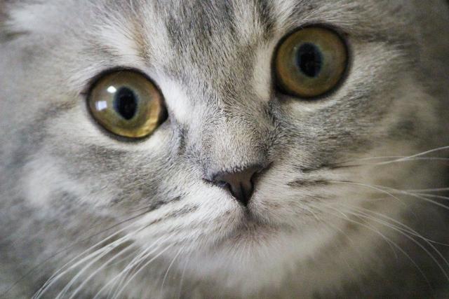 猫の目の色の種類と変化!病気との関係など知っておきたいこと