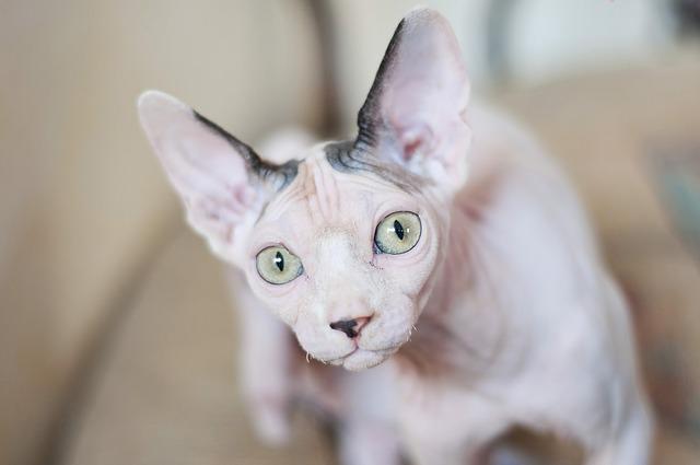 猫のスフィンクスの値段・性格・寿命!アレルギーでも飼えるの?