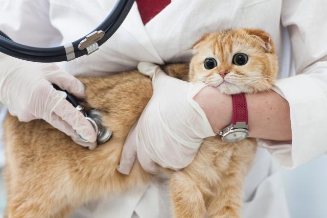 猫のFIPの原因と初期症状について