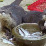 カワウソの餌の種類と量、与え方について