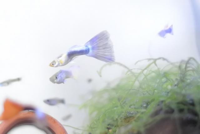 グッピーの稚魚を隔離する理由と生存率を上げる方法