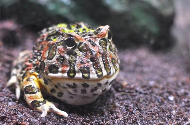 カエルでペットにできるのはどんな種類?特徴や気になる値段など