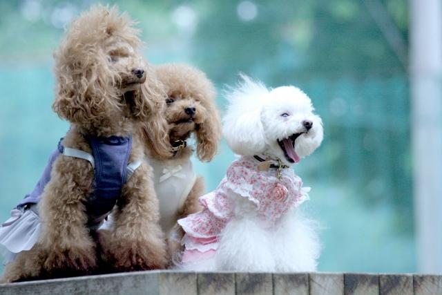 トイプードルの色の種類と性格の違い!色で見る愛犬の選び方とは