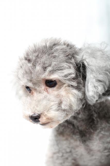 トイプードルのグレーってどんな犬?性格などの特徴と値段