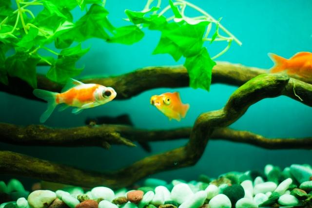 金魚の砂利のおすすめと掃除や必要性について